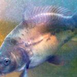 Menemukan Virus Penyerang Ikan Mas dengan Teknologi Sel