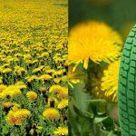 Spesis Dandelion nan Cantik Sumber Rejeki dan Bisnis, Bahan Karet Sintesis