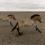 Modern Breeding Reduced Horse Diversity within Centuries
